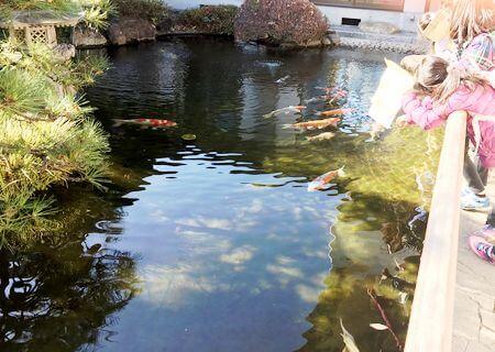 本立寺 池の鯉
