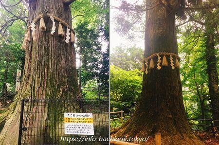 たこ杉と天狗の腰掛杉(高尾山)